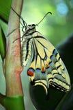 Swallowtail motyli obsiadanie na gumowej rośliny trzonu zielonej roślinie, profil, miękki bokeh obrazy royalty free