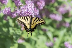 Swallowtail motyli odpoczywać na purpurowych lilych kwiatach zdjęcia royalty free
