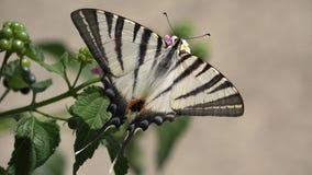 Swallowtail motyli Papilio na kwiacie, makro- szczegół zbiory
