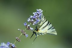 Swallowtail na flor imagem de stock royalty free
