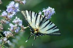 Swallowtail na flor fotografia de stock royalty free
