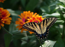 Swallowtail na flor do Zinnia foto de stock royalty free