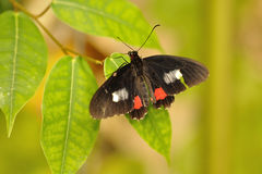 Swallowtail na folha Fotos de Stock