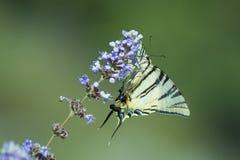 Swallowtail na kwiacie obraz royalty free