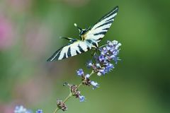 Swallowtail na kwiacie zdjęcia royalty free