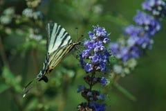 Swallowtail na kwiacie obraz stock
