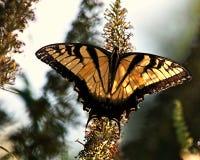 Swallowtail Na Motyli Bush Zdjęcia Royalty Free