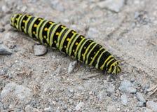 Swallowtail negro Caterpillar estirado hacia fuera fotos de archivo libres de regalías