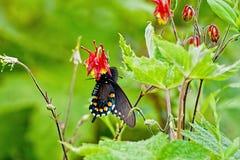 Swallowtail negro en aguileña Imagen de archivo libre de regalías