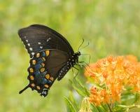Swallowtail negro II Foto de archivo libre de regalías