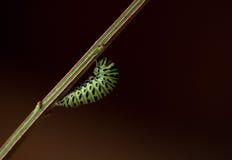 Swallowtail negro listo para la crisálida Fotografía de archivo