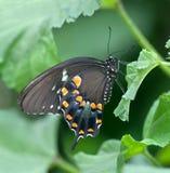 swallowtail nero Fotografie Stock