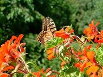 Swallowtail no jardim foto de stock royalty free