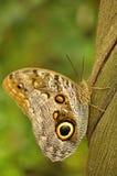 Swallowtail no liana Imagens de Stock