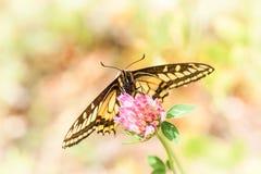 Swallowtail no pratense do Trifolium - lado da barriga imagem de stock royalty free