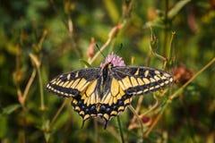 Swallowtail no pratense do Trifolium - opinião de verso imagem de stock