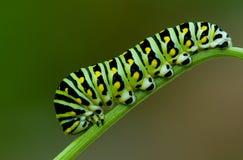 Swallowtail noir Photos stock