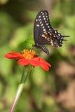 Swallowtail noir Photo stock