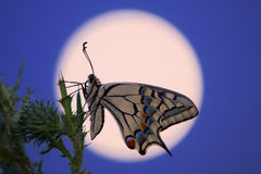 Swallowtail op een distel tegen de maan royalty-vrije stock foto