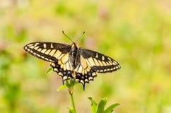 Swallowtail op Klaver pratense stock afbeelding