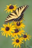 Swallowtail op zwart-eyed Susan Stock Foto's