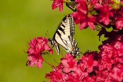 Swallowtail pálido em azáleas Fotografia de Stock