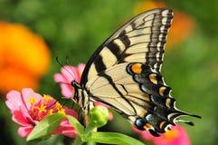 Swallowtail på blomma royaltyfria bilder