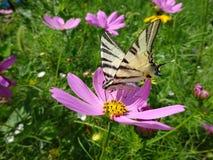 Swallowtail på en blomma royaltyfria foton