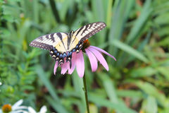 Swallowtail på en Coneflower Royaltyfri Bild