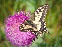 Swallowtail på tistelblomman royaltyfria bilder