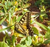 Swallowtail Papilio machaon royalty-vrije stock afbeelding