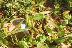 Swallowtail Papilio machaon royalty-vrije stock afbeeldingen