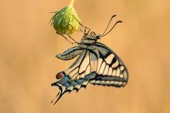 Swallowtail Papilio machaon obrazy stock