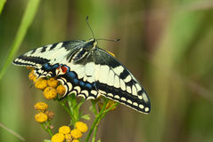 Swallowtail (Papilio Machaon) Royalty Free Stock Photography