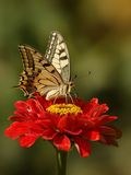 Swallowtail蝴蝶(Papilio machaon) 免版税库存照片