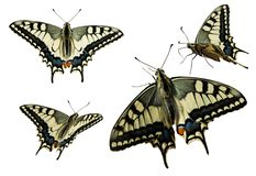 Swallowtail (Papilio Machaon) Stock Images