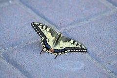 Swallowtail (Papilio machaon) 库存照片