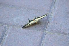 Swallowtail (Papilio machaon) 免版税库存图片