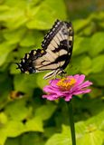 Swallowtail (Papilio Machaon) Royalty Free Stock Images
