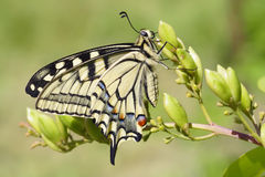 Swallowtail (Papilio machaon) butterfly Royalty Free Stock Images