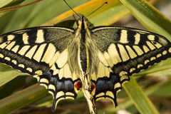 Swallowtail (Papilio machaon) butterfly Stock Image
