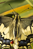Swallowtail (Papilio machaon) butterfly Stock Images