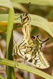 Swallowtail (Papilio machaon) butterfly Stock Photography