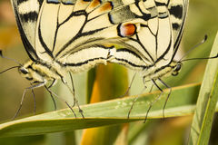 Swallowtail (Papilio machaon) butterfly Royalty Free Stock Photo