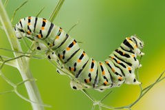 Swallowtail (Papilio Machaon) Caterpillar macro photo. Royalty Free Stock Image