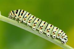 Swallowtail (Papilio Machaon) Caterpillar macro photo. Stock Photo