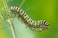 Swallowtail (Papilio Machaon) Gąsienicowa makro- fotografia zdjęcia stock