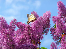 Swallowtail on blooming lilac bush stock images