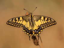 Swallowtail (Papilio machaon) Warming up in the Morning Light wi Royalty Free Stock Images