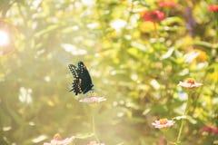 黑Swallowtail Papilio polyxenes 免版税库存图片